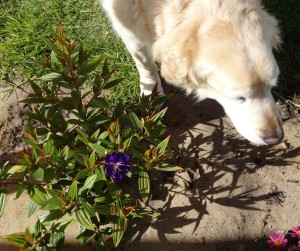 Planted a tibouchina. Toby saw the camera and decided he was needed!