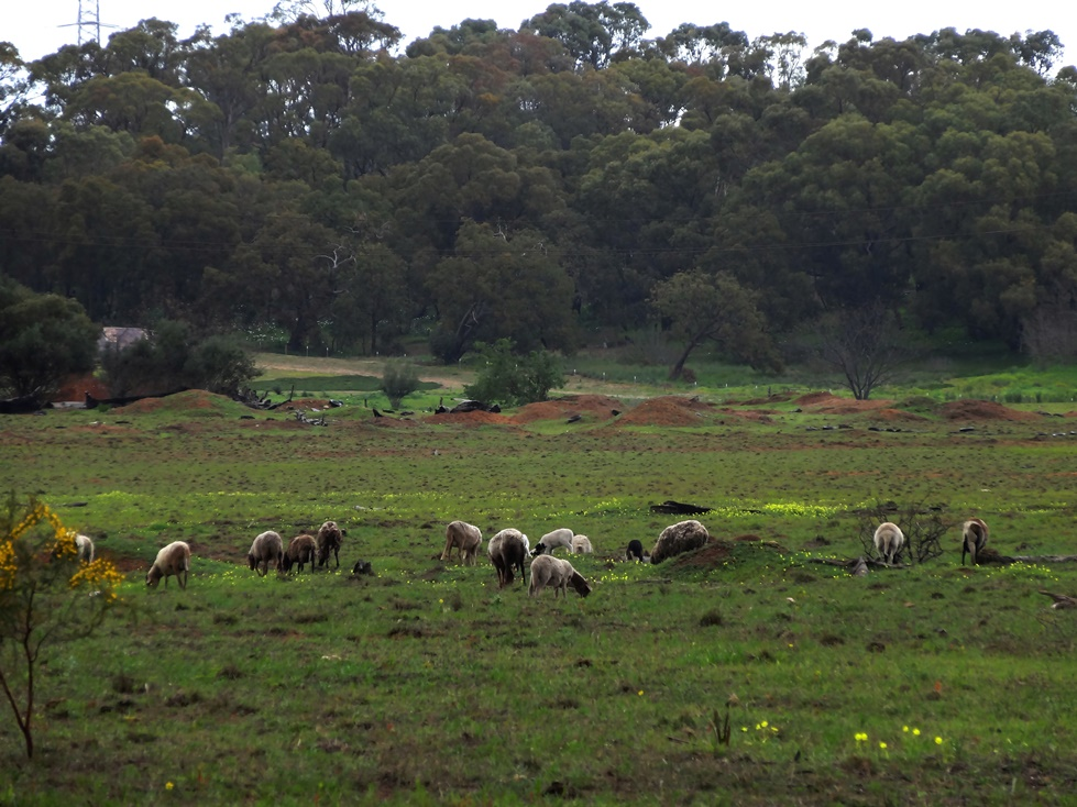 enjoyable distractions, Australian sheep, rural childhood,