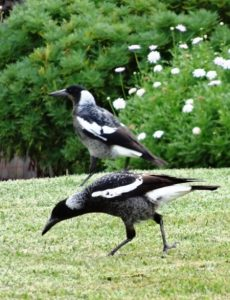 magpies, superstitions, Jenny Schwartz,